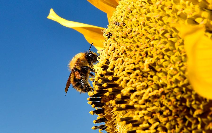Bees are going extinct