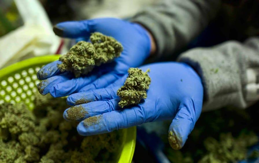 cannabis-worker-ap-img