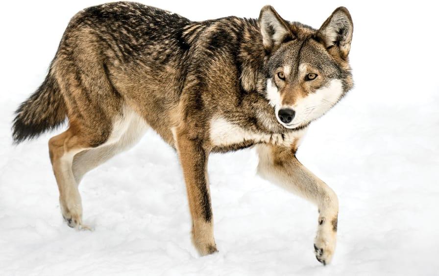 Tobias-Red_wolf-ftr_img
