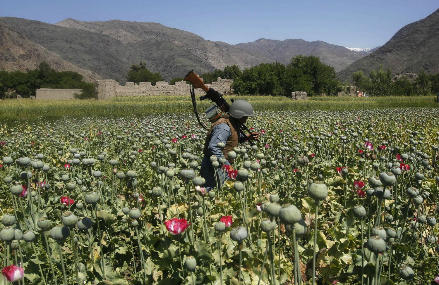 opium cultivation in afghanistan Afghanistan has been the world's leading illicit opium producer since 1992 (excluding the year 2001) afghanistan's opium poppy harvest produces more than 90% of illicit heroin globally, and more than 95% of the european supply.