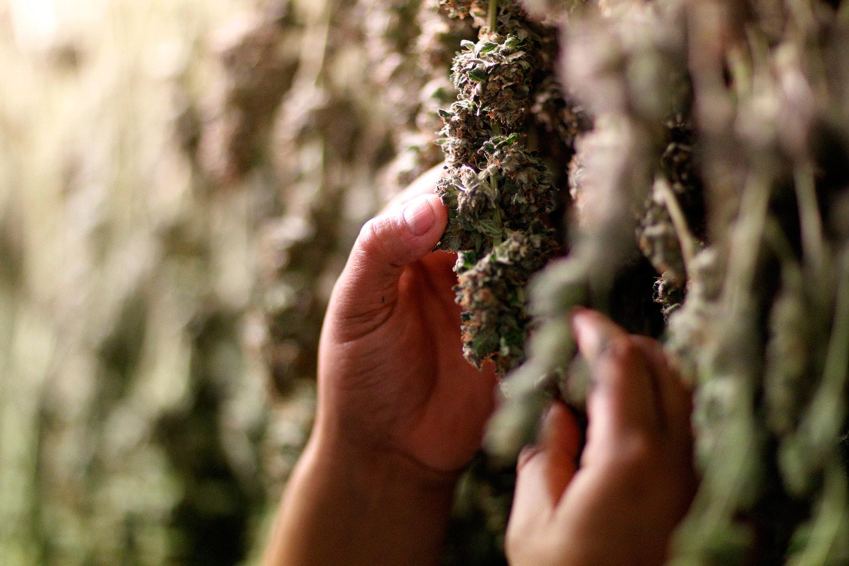 Medical-marijuana-plants