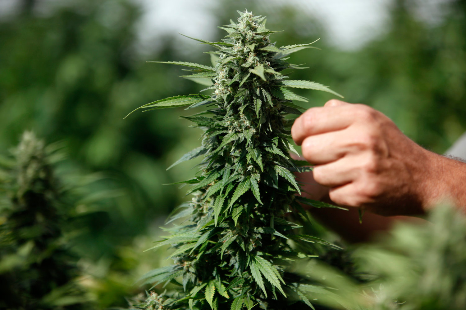 the marijuana controversy american misconception of
