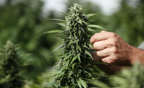 Marijuana initiatives