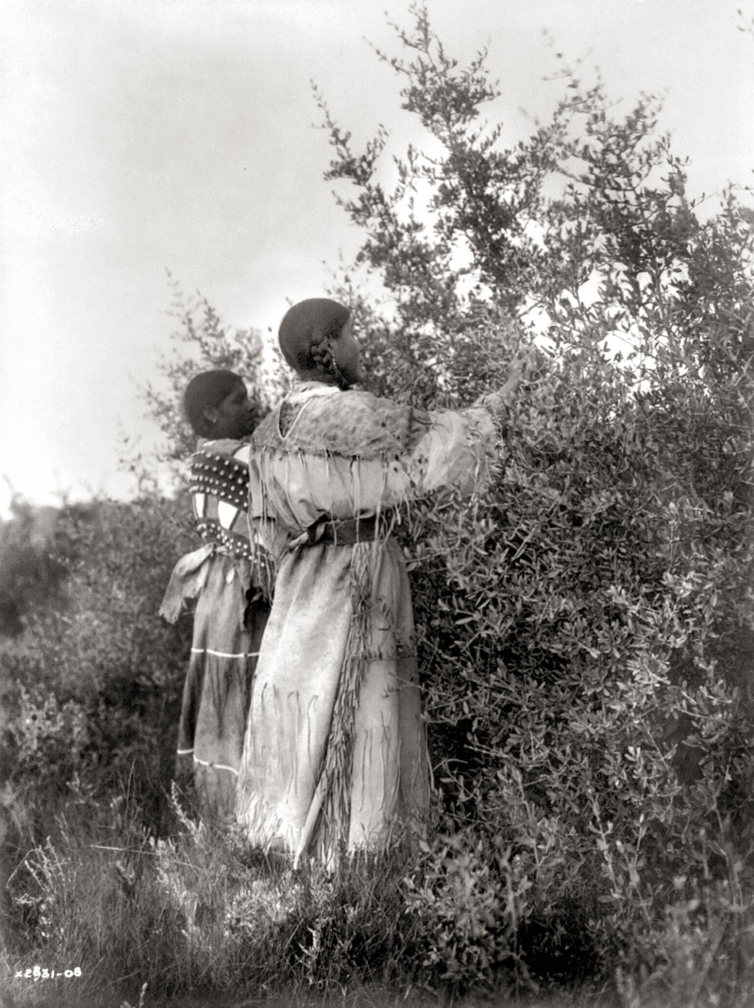 Mandans-gathering-buffalo-berries-1908.-Photograph-by-Edward-S.-Curtis