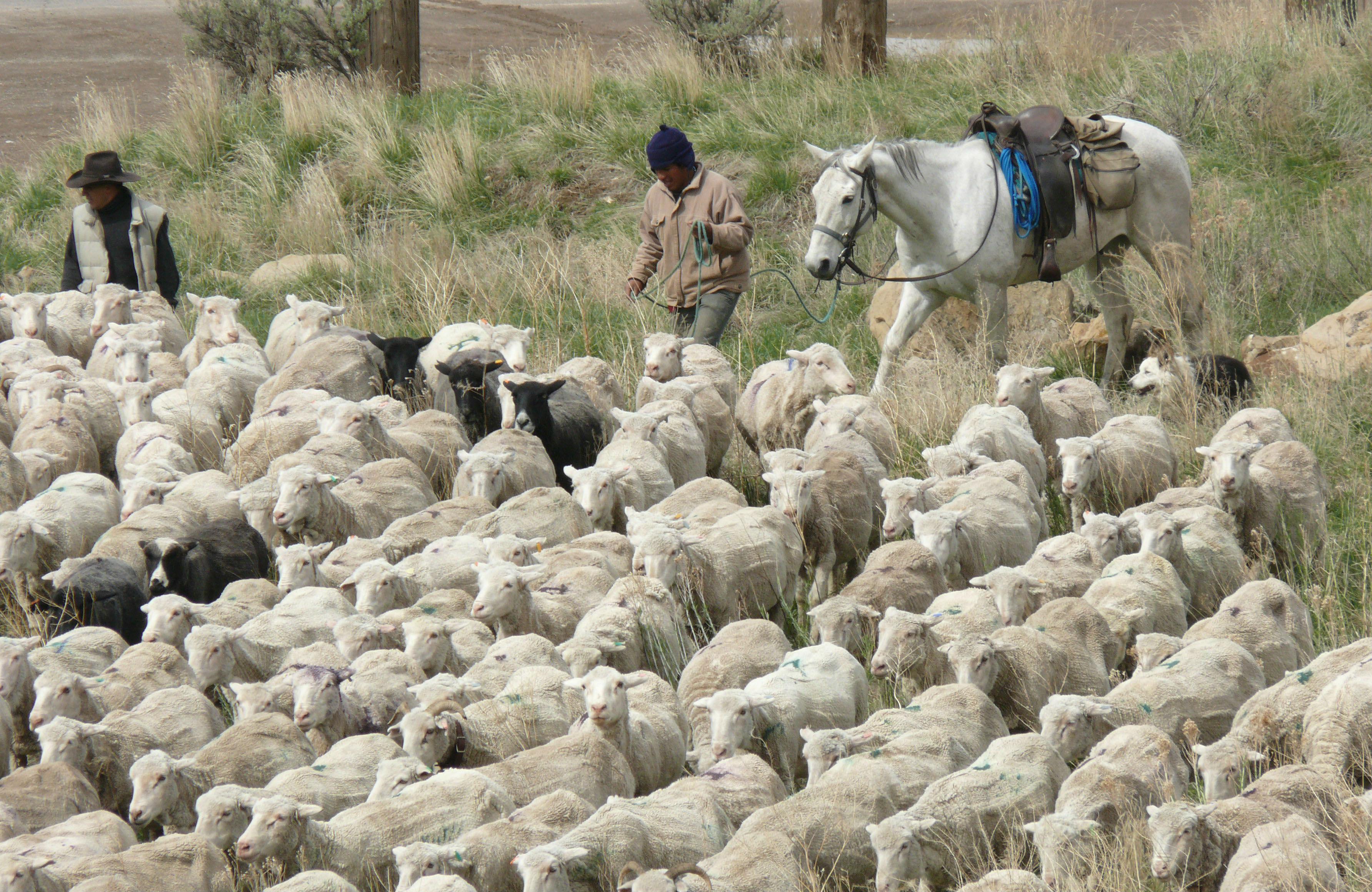 Sheep-herders-in-Colorado