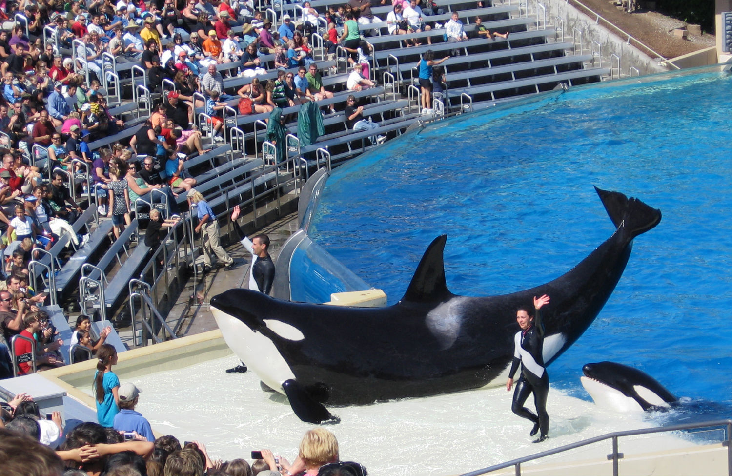 Orcas-in-a-Seaworld-show
