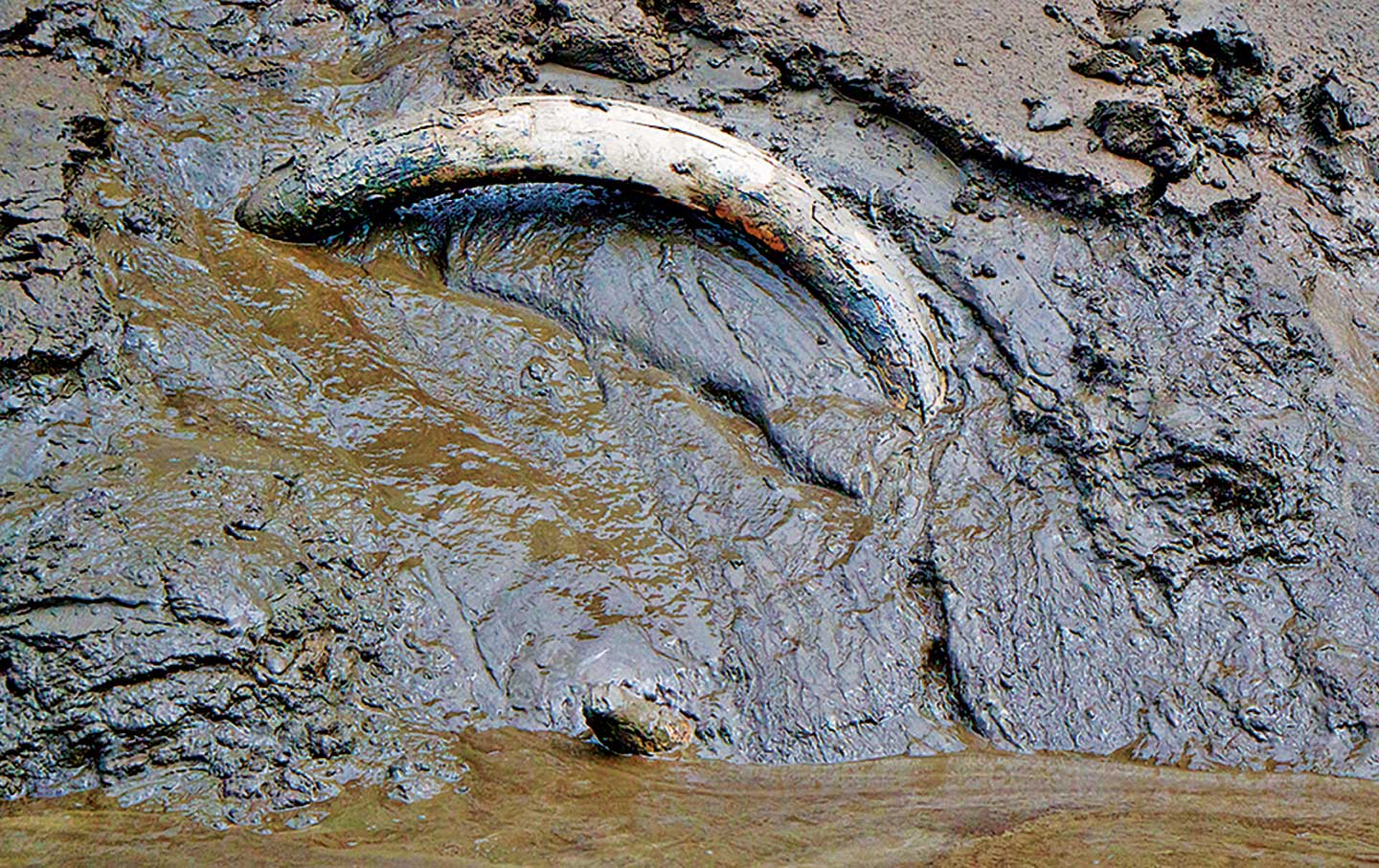 A-mammoth-tusk-exposed-by-placer-mining-near-Dawson-City-Yukon-Territory-Canada