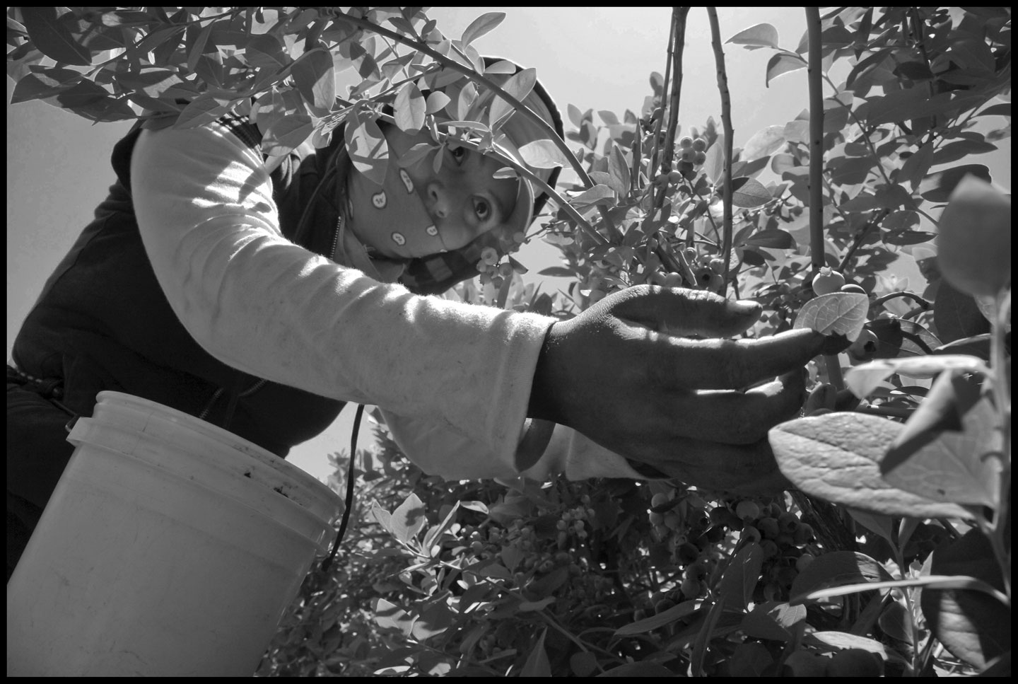 Lorena Hernandez, a 20-year-old farm worker and single mother of a 4-year-old girl, picks blueberries in a field in California's San Joaquin Valley. Workers are paid by $8 for each 12-pound bucket they pick.
