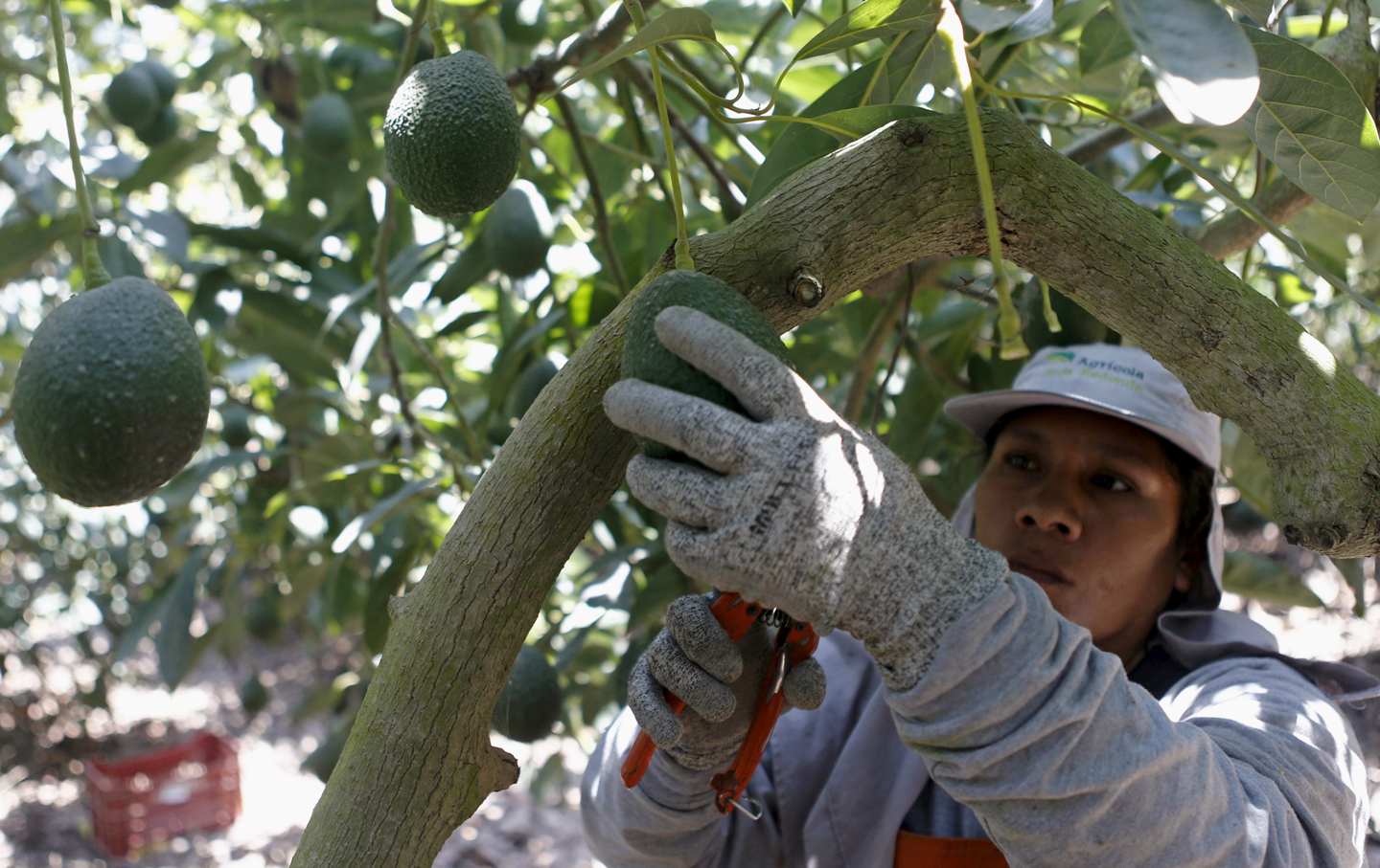 A farm worker picks avocados from Hoja Redonda plantation in Chincha, Peru, September 3, 2015.