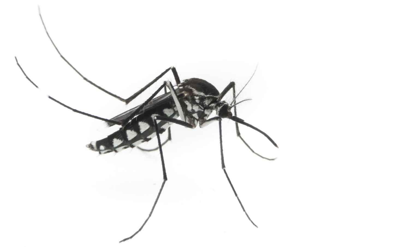 Mosquito_shah_img
