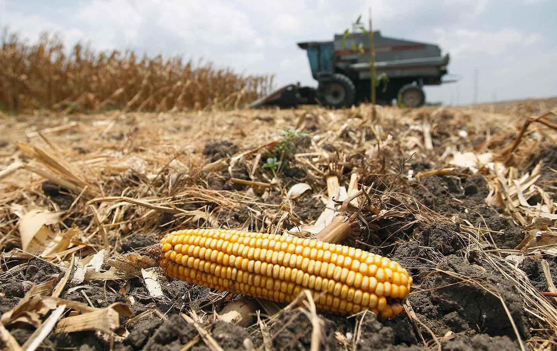 Corn Cob Farming