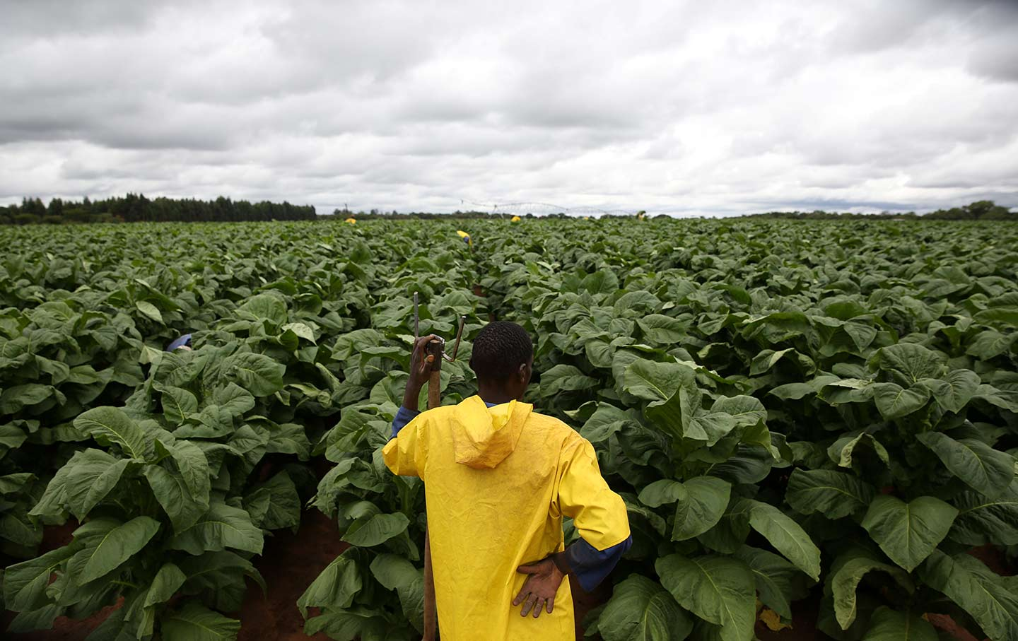 Tobacco farm worker Zimbabwe