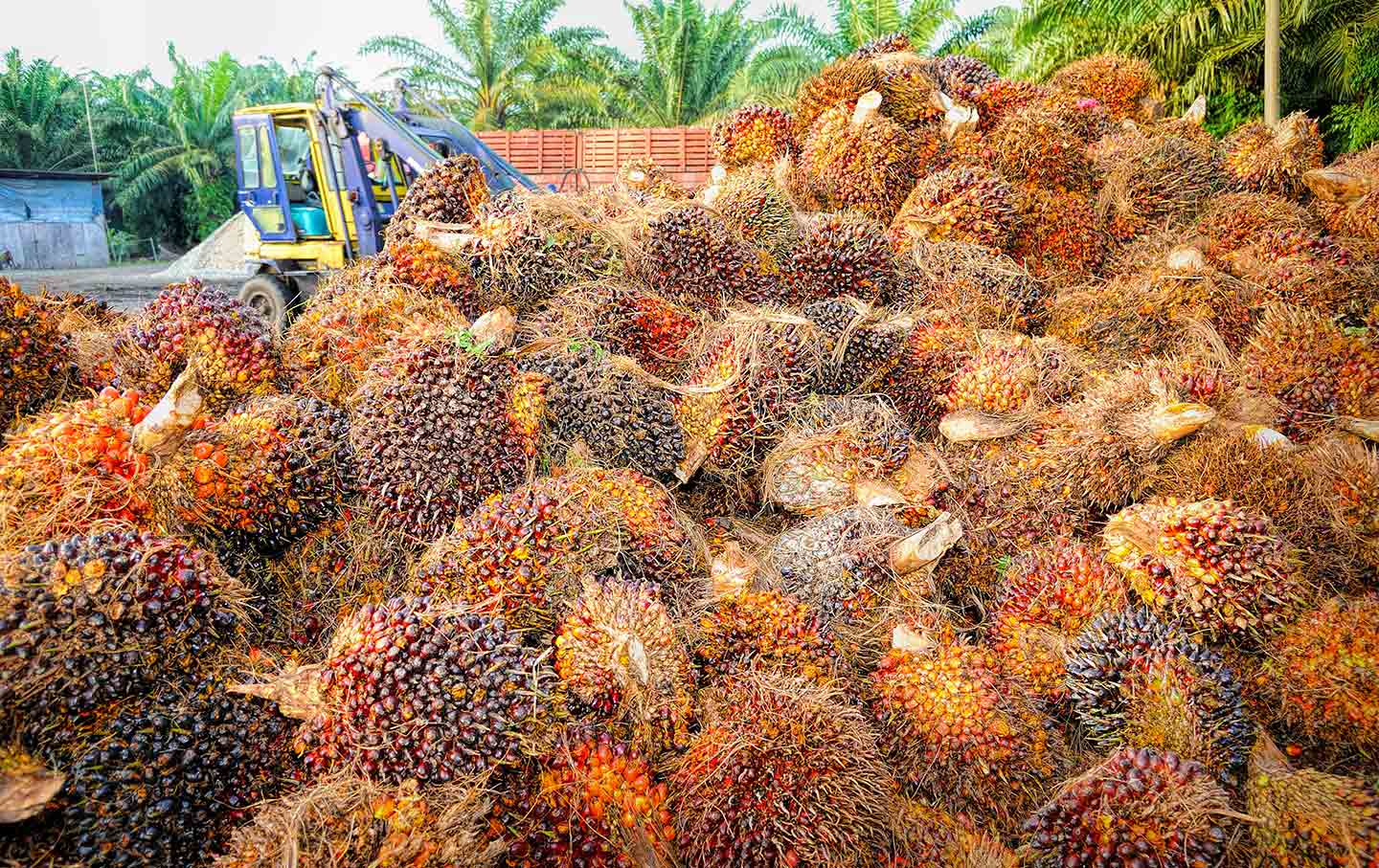 Harvested palm fruit for processing to oil