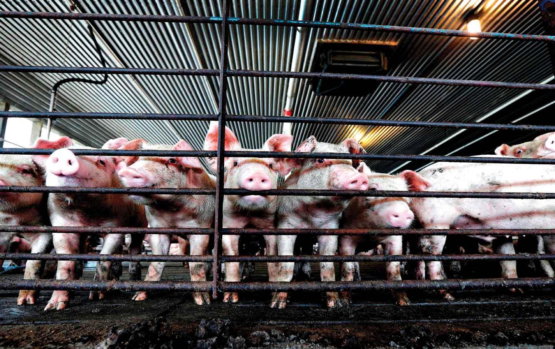 Yeoman-pigs_ftr_img