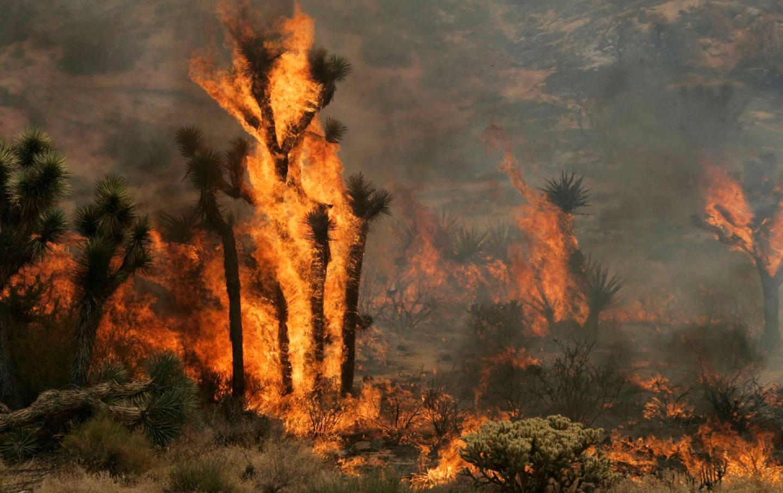 A joshua tree is on fire